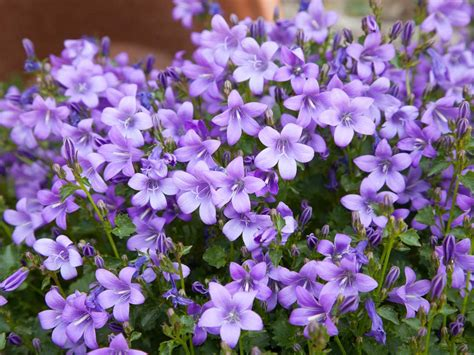 Flower Garden Plants Purple Flowers For Your Garden Saga