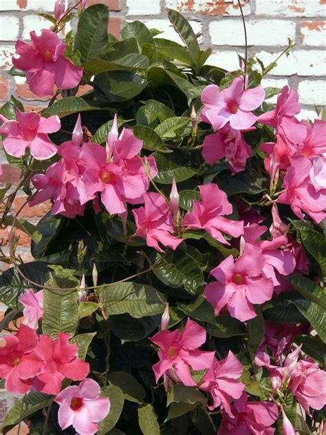 tropical climbing plant 17 best images about climbing flowering vines on