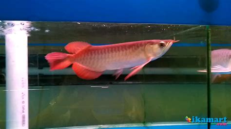 Ikan Arwana 15 Cm ikan arwana ukuran 15 cm sertifikat hewan