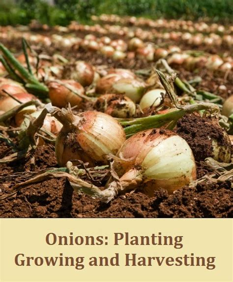Gardening Onions by Garden Hacker Onions Planting Growing And Harvesting