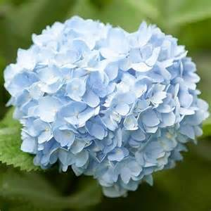 hydrangea color great color hydrangea beautiful