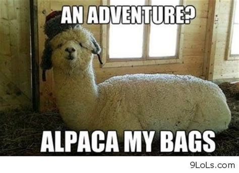 Alpaca Sheep Meme - funny quotes funny animals funny easter funny