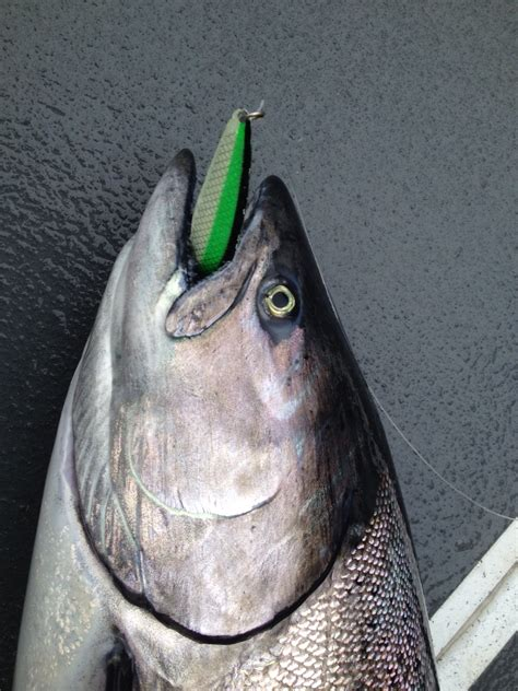 silver horde kingfisher lite saltpatrol
