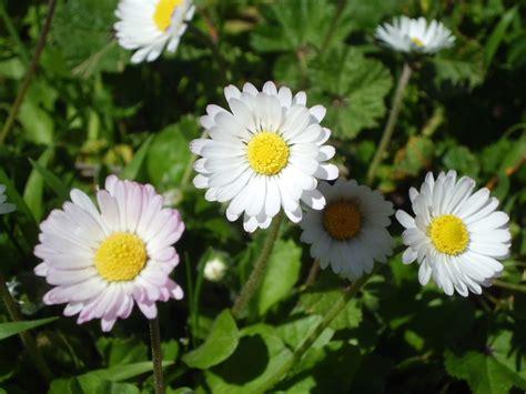foto margherita fiore file fiore margherita jpg