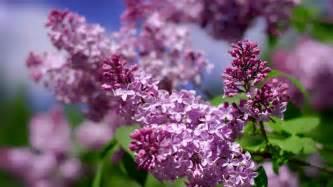 lilac lilacs beautiful lilac my hd 113304 magic4walls com