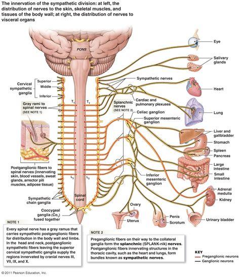 diagram of the vagus nerve innervation of gallbladder human anatomy system