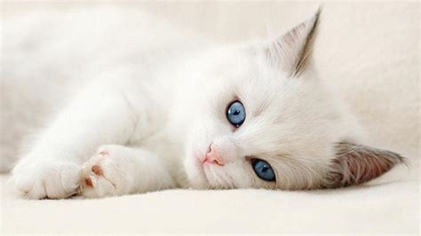 white cat wallpapers wallpaper cave