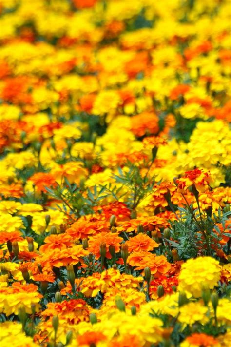 know more about flowers that help to keep the bugs away
