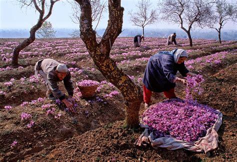 how to grow saffron the garden of eaden