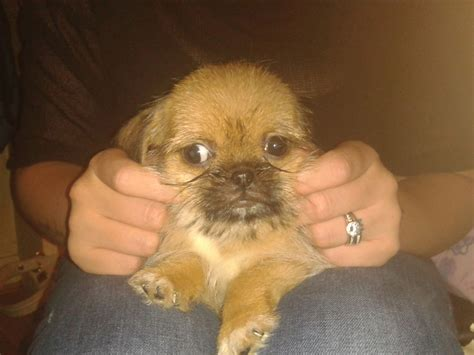 pug x shih tzu puppies for sale pug 1 4 shih tzu 375 posted 1 year ago for sale dogs pug quotes