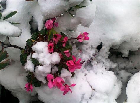 fiori di neve un fiore non disdegna la neve il ciclamino