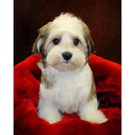maltese yorkie mix for sale boston terrier puppy for sale maltese yorkie mix polyvore
