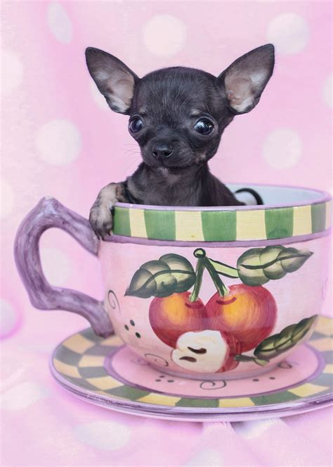 teacup puppies for sale in illinois teacup chihuahua for sale in il breeds picture