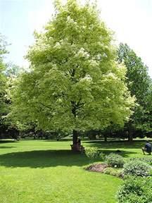 Green And White Foliage Plants - harlequin norway maple acer platanoides drummondii in hamilton burlington waterdown dundas