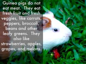 vegetables guinea pigs can eat what food can guinea pigs eat food ideas
