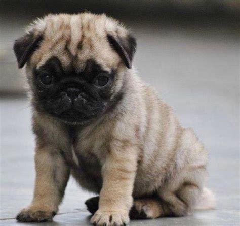 baby pug names 25 best pug ideas on haired bulldog bulldog