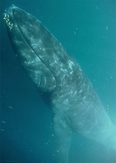 wale gif humpback whale gif tumblr