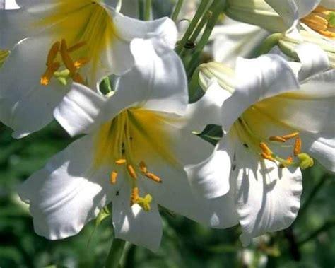 gigli fiore giglio fiore elegante