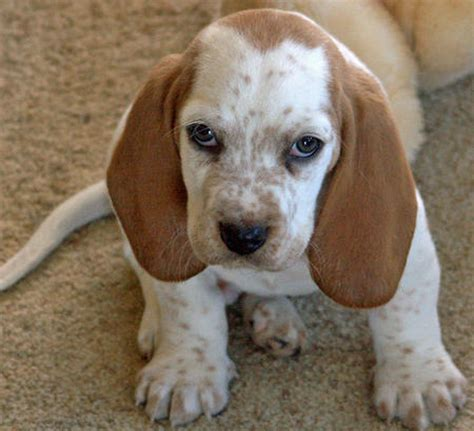 basset hound mix puppies basset retriever basset hound golden retriever mix info and pictures