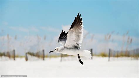 volo gabbiano scaricare gli sfondi volo gabbiano ali sfondi gratis per