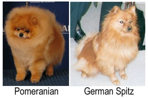 where do pomeranians originate from differences between pomeranians german spitz pomeranian information and facts
