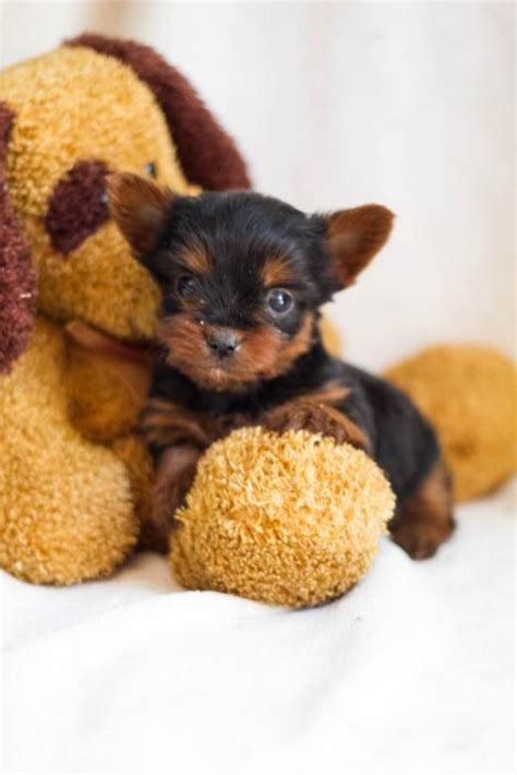 craigslist teacup puppies for sale yorkie puppies for sale in craigslist breeds picture
