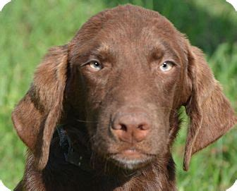 golden retriever and chocolate lab mix golden retriever chocolate lab mix