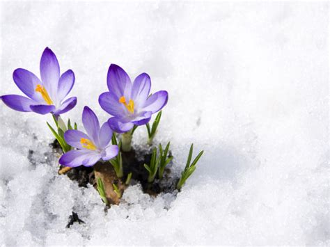 winter flowers how to protect your flowers in winter
