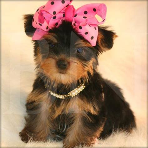 teacup yorkie adoption atlanta teacup yorkie puppies for sale in wisconsin breeds picture breeds picture