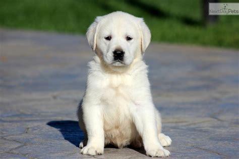 goldador puppies for sale goldador puppy for sale near lancaster pennsylvania d1ff3c49 e221