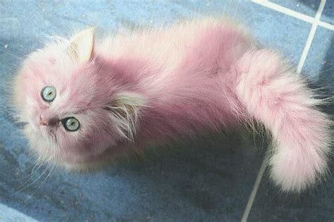 Cats Pink pink kittens pink perfection cats i want