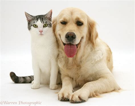 golden retrievers and cats pets cat and smiley golden retriever photo wp38214