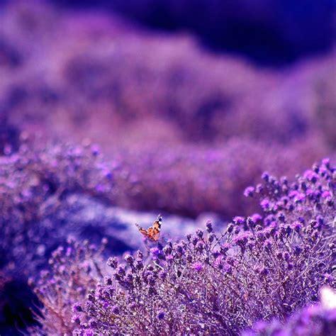 lavanda fiore significato lavanda significato significato fiori significato