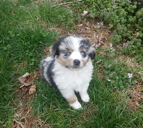 miniature aussie puppies for sale puppies for sale miniature australian shepherd miniature australian shepherds mini
