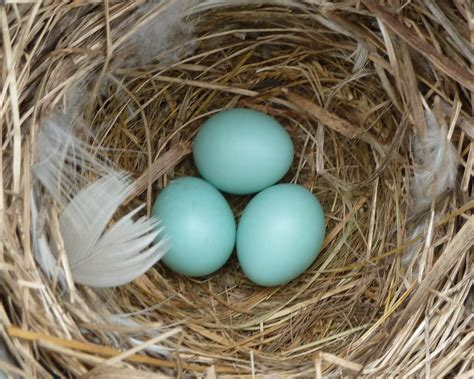 what color are cardinal eggs blue bird eggs