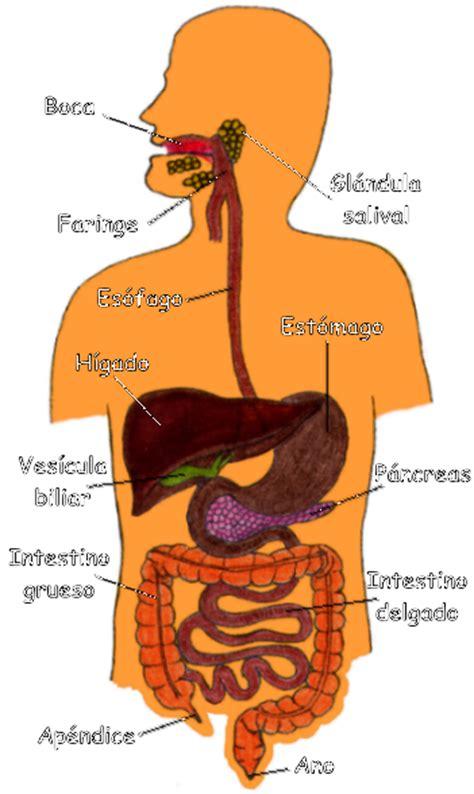aparato digestivo fotos imgenes dibujos videos dibujos del aparato digestivo