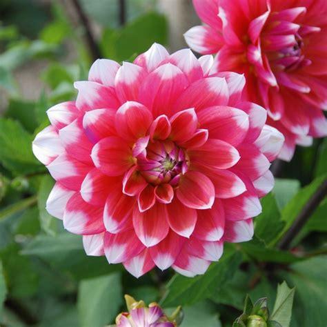 fiori dalia dalia decorativa a grandi fiori milk shake vendita on