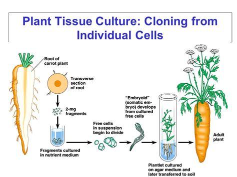 plant cell tissue and organ culture cell suspension download griechischer humor von homers zeiten bis heute