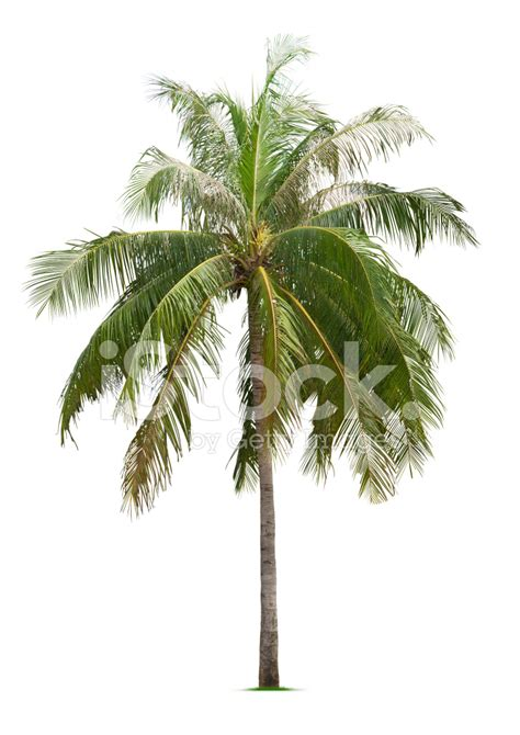 Coconut Tree coconut tree stock photos freeimages