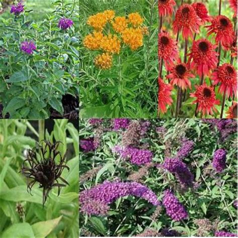 Home Depot Garden Plants by Onlineplantcenter 1 Gal And 2 Gal Butterfly Garden 5