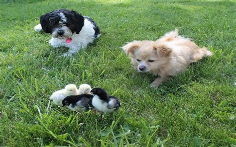 when can dogs get can dogs get sick from chickens dogs health problems