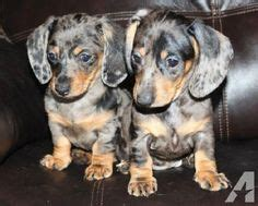 dachshund puppies for sale in indiana 1000 images about dogs on puppies for sale indiana and bernese mountain dogs