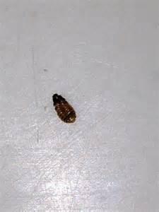 bed bug cast skins pictures bangdodo