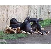 Publicado El Diciembre 18 2012 A 640 &215 480 En Bonobos