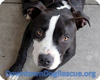 boston terrier pitbull mix puppies brody adopted los angeles ca pit bull terrier boston terrier mix