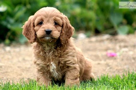 cockapoo puppies price cockapoo puppy for sale near lancaster pennsylvania 957b7305 9461