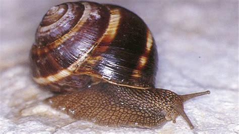 alimentazione lumache di terra lumache come preparare ricetta escargots