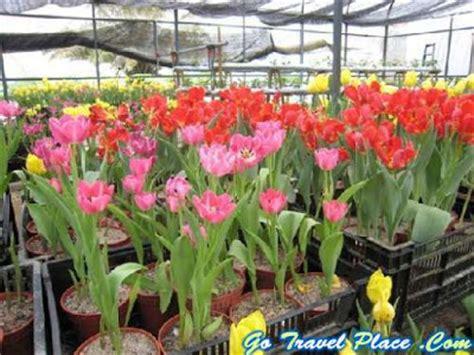 Benih Bunga Tulip Di Malaysia tempat tempat menarik di lms bukit larut
