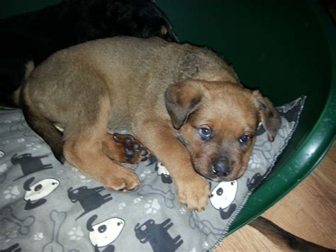 rottweiler cross for sale 3 rottweiler cross labrador pups for sale stoke on trent staffordshire pets4homes