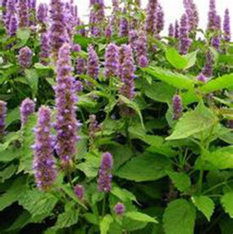 buy wholesale patchouli plant seeds from china